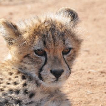 Cheeta welpje