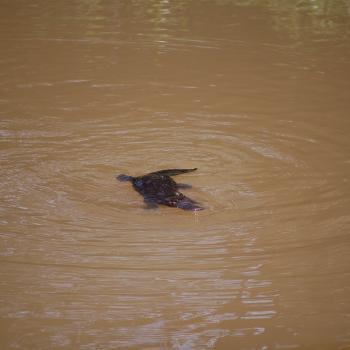 platypus (vogelbekdier) in het wild