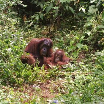 Wilde Orangoetans op Borneo