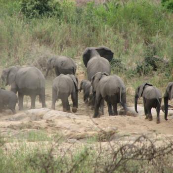 Kudde olifanten in het Krugerpark