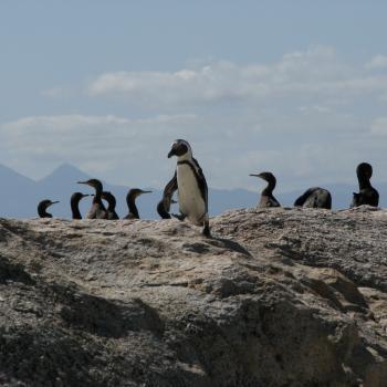 Pinguinkolonie Simonstad