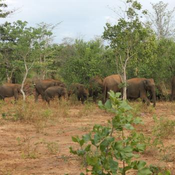 Olifanten in National Park Uda Walawe