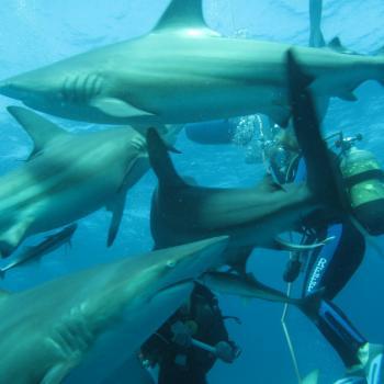 Haaien duiken bij Umkomaas