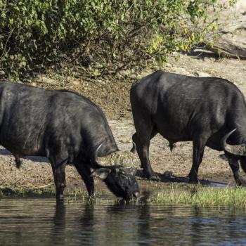 Buffels langs de waterkant