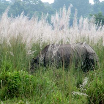 Neushoorn Chitwan N.P.