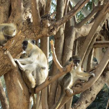 Voldoende aapjes te zien!