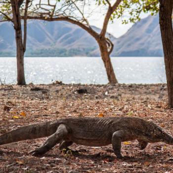 De Komodovaraan op het eiland Komodo