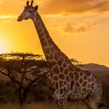 Giraffe voor een acacia tijdens zonsondergang in Zuid-Afrika