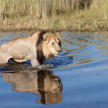 Leeuw te water