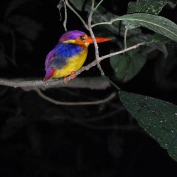 Vogel tijdens de avondtrek op Borneo