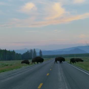 Overstekende bizons in Grand Teton