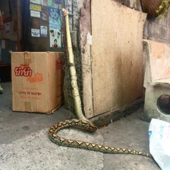 Geen slangen in het hectische en volgebouwde Bangkok?