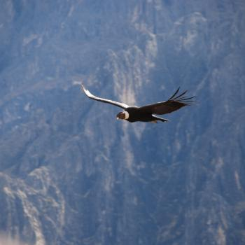 Concor in Colca Canyon
