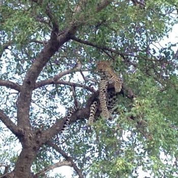 luipaard in de boom