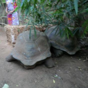grote schildpadden