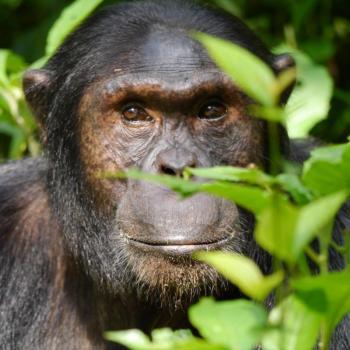 Chimpansees in Kibale forest