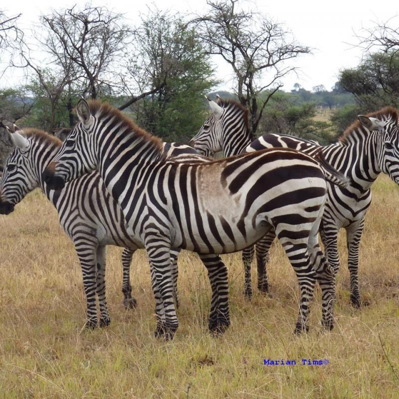 er loopt een zebra met een witte vlek