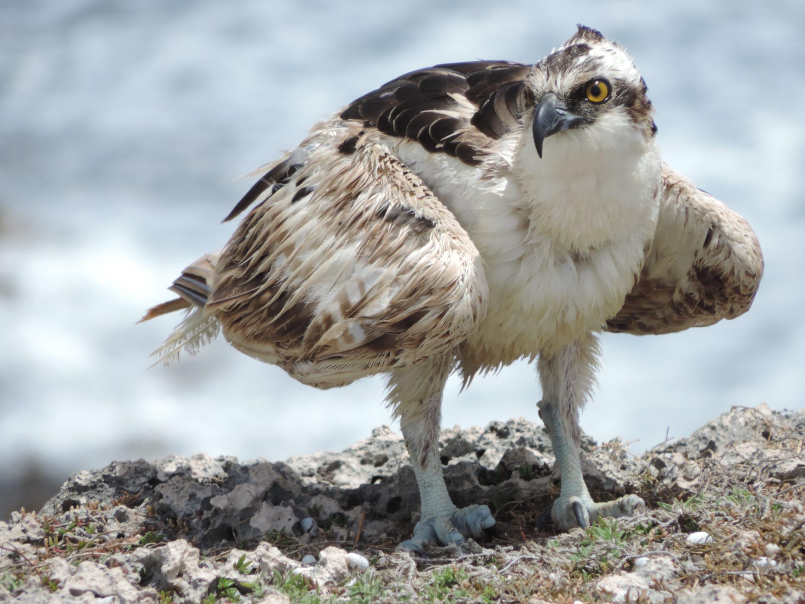 Roofvogel in het Christoffel Park