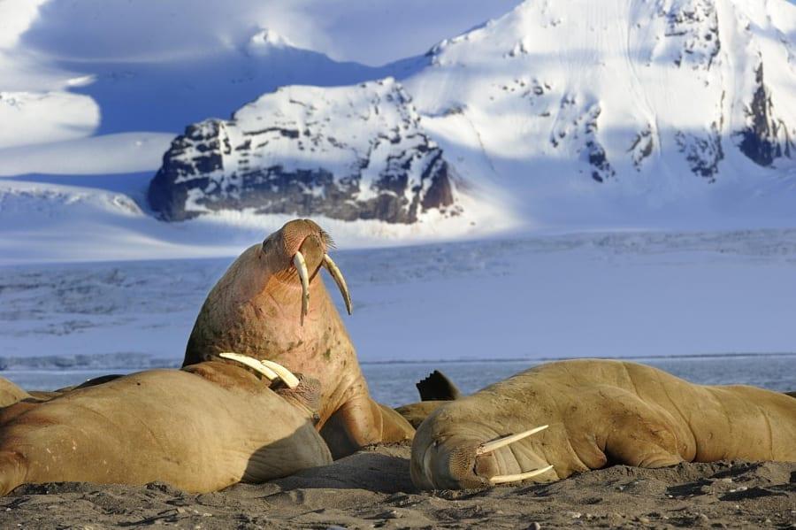 Middernacht zonaanbidders in Svalbard, Noorwegen