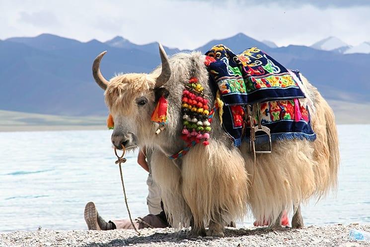 Een Tibetaanse Yak