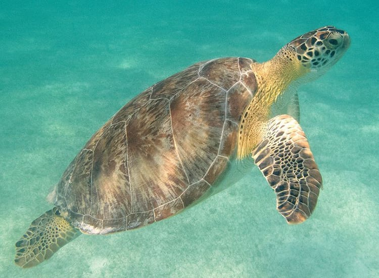 De zeeschildpad in de baai van Akumal
