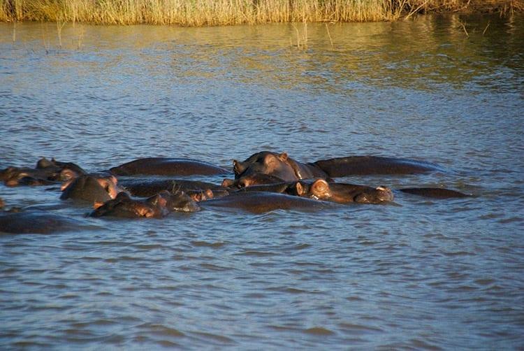 Nijlpaarden in het iSimangaliso Wetland Park.