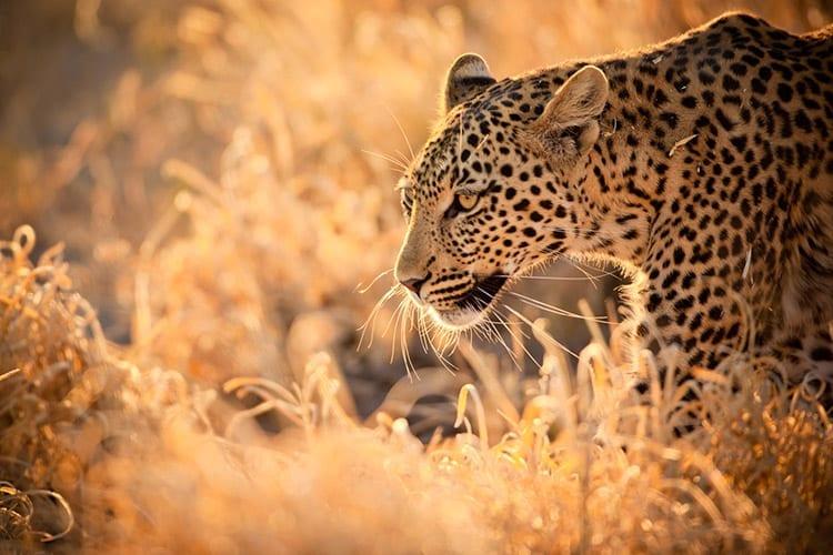 Luipaard in het Kruger National Park