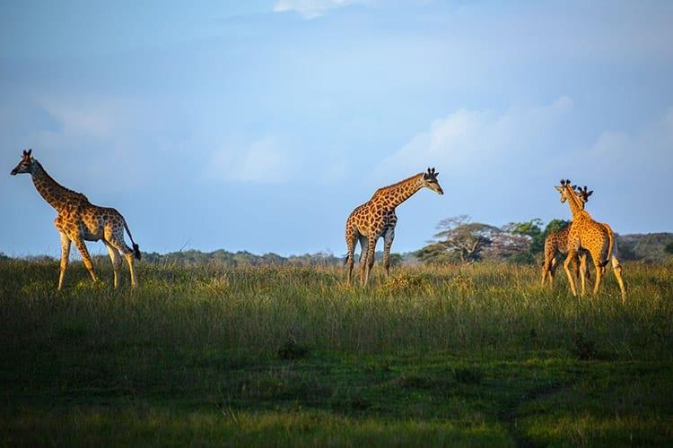 Giraffes in het iSimangaliso Wetland Park