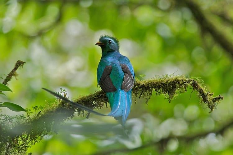Costa Ricaanse Quetzal
