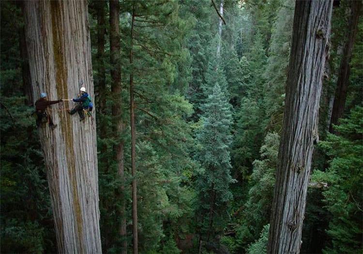 Redwood boomklimmen, Amerika