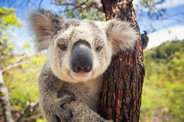 Koala op Magnetic Island