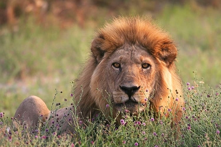 Leeuw in het Moremi Game Reserve
