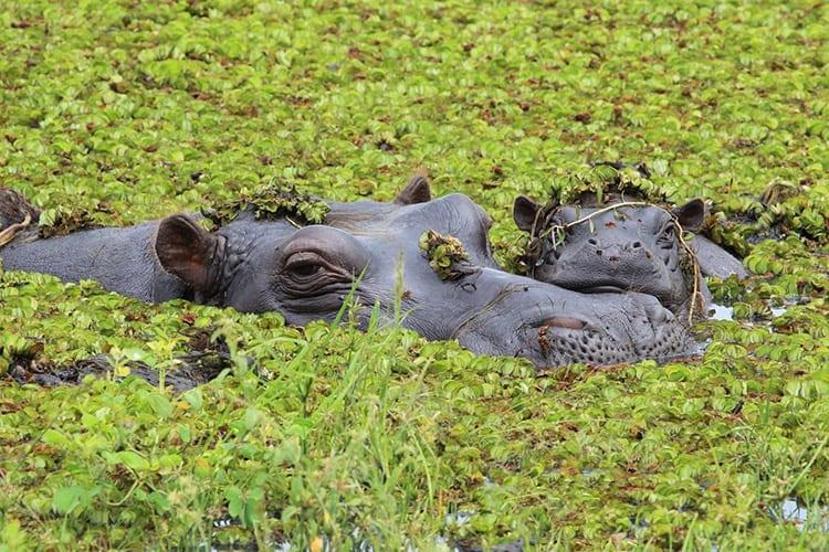 Nijlpaarden in de Okavango Delta
