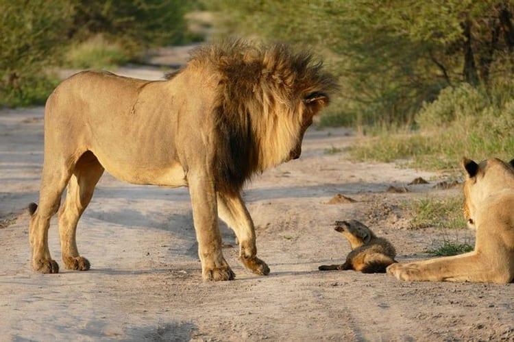 Leeuwin redt baby vos