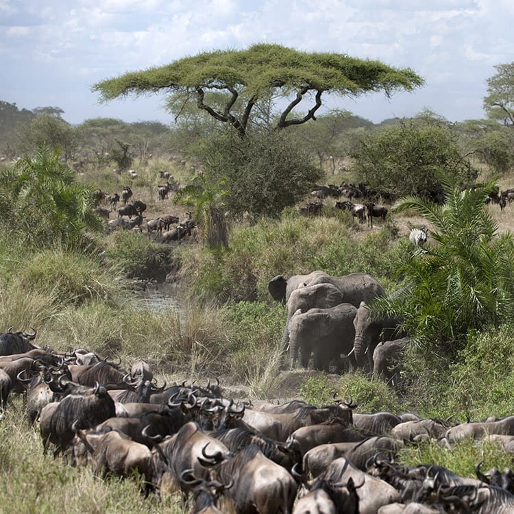 Olifanten en Wildebeest in het Serengeti National Park