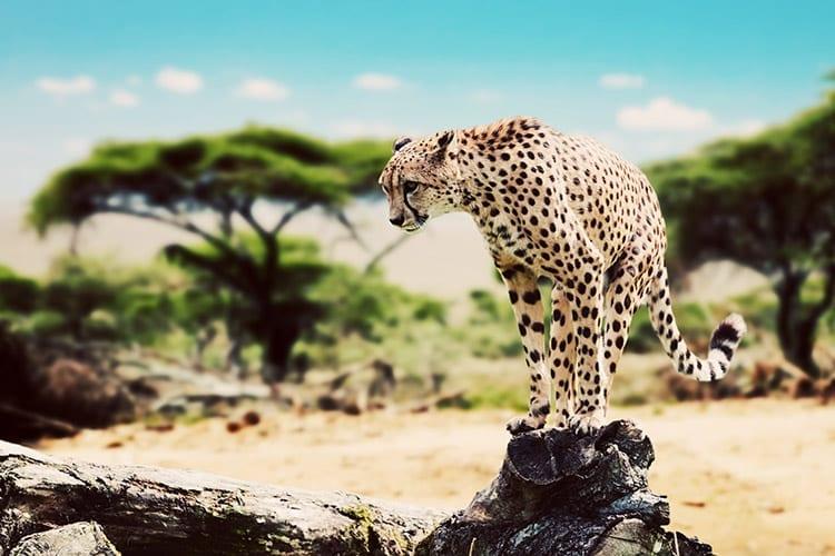 Luipaard in de Serengeri