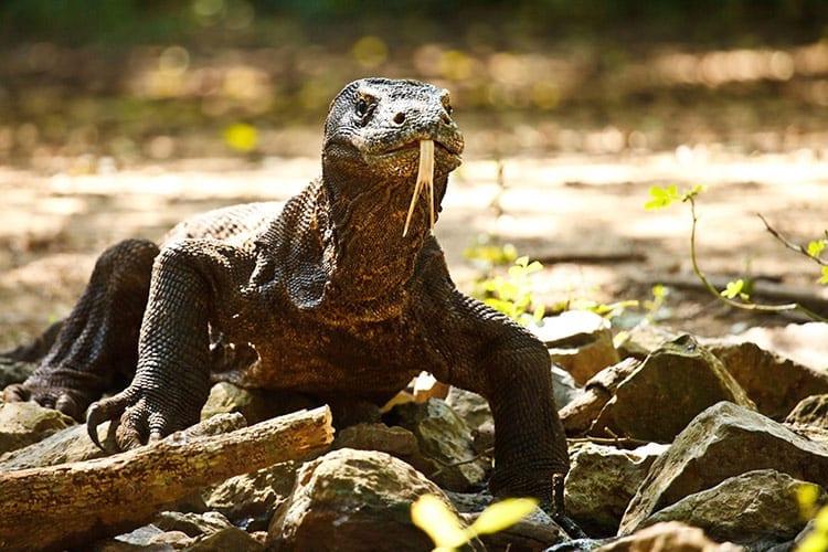 Varaan in het Komodo National Park