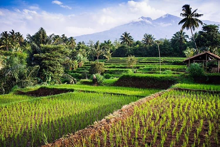 Senaru rijstvelden, Lombok
