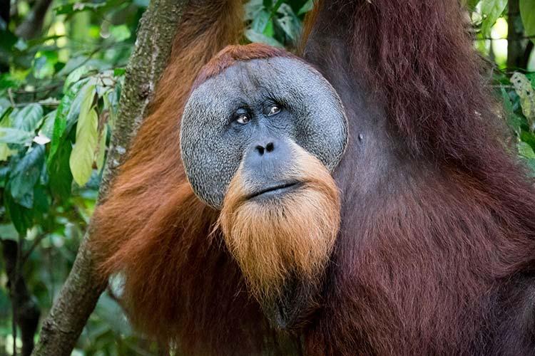 Sumatraanse orang-oetan Gunung Leuser National Park
