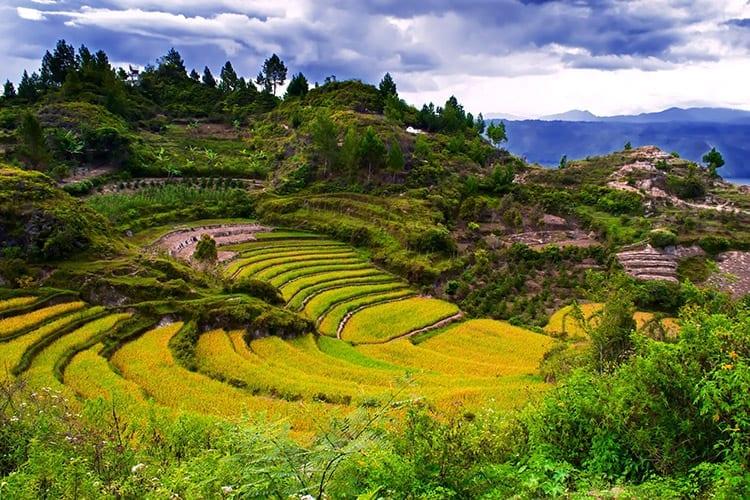 Groene rijstterrassen bij schiereiland Samosir