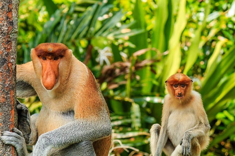 Neusapen op Borneo