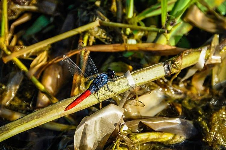 Rode libelle in het Amazonewoud