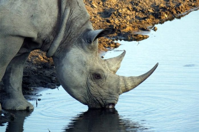Zwarte neushoorn Namibië