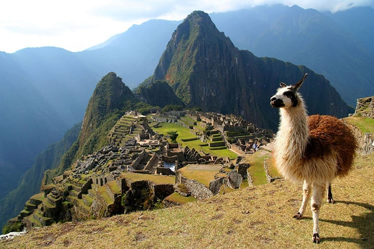 Lama bij Machu Picchu