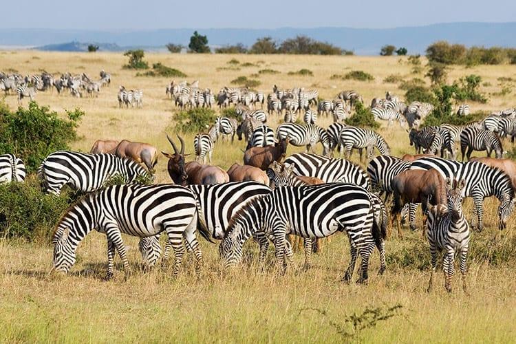 De Grote Trek in het Masai Mara National Reserve