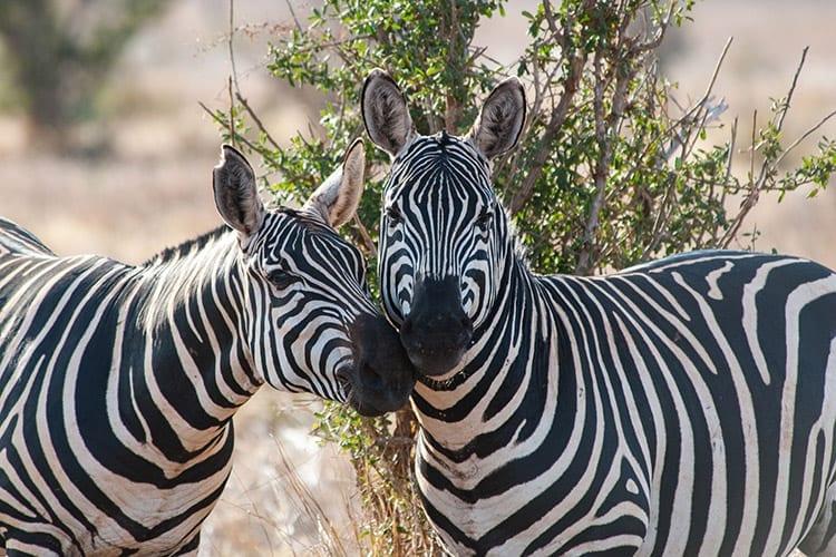 Zebra's in Tsavo East