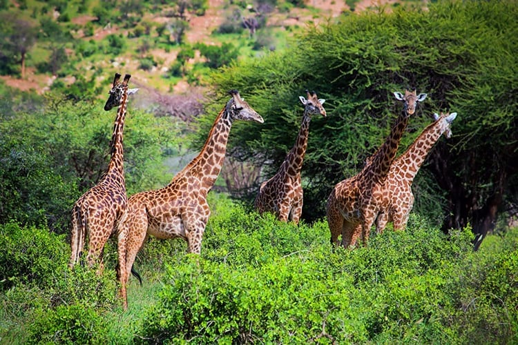 Giraffen in Tsavo West