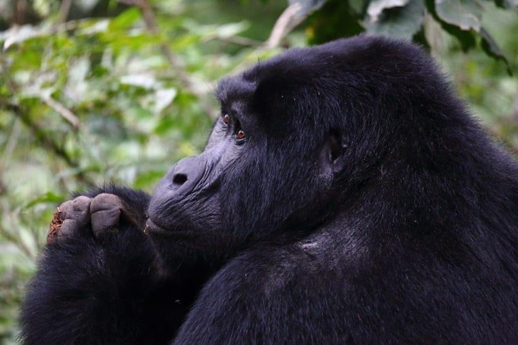 Gorilla in het Bwindi Impenetrable National Park