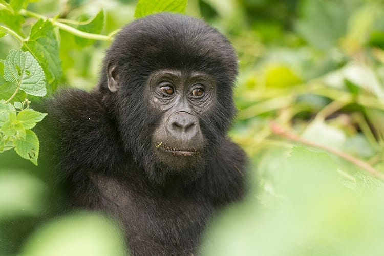 Jonge gorilla in het Bwindi Impenetrable National Park