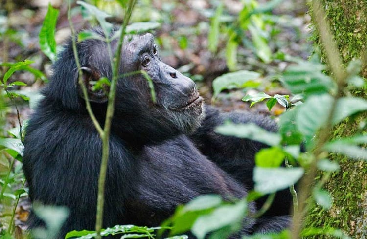 Chimpansee in Kibale Forest National Par